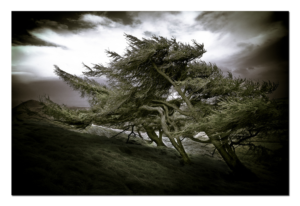 monochrome image of trees blowing in strong wind on a widswept hillside